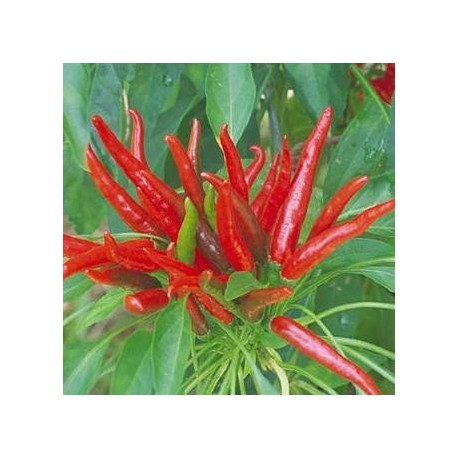Piment Poinsettia (piment fort)