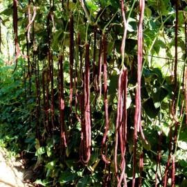 Graines Haricot dolique 'Red Noodle' (Haricot Kilomètre)