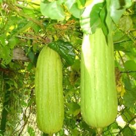 Graines Luffa Cylindrica (Eponge végétale)