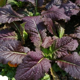 Graines Moutarde rouge 'Red Giant'