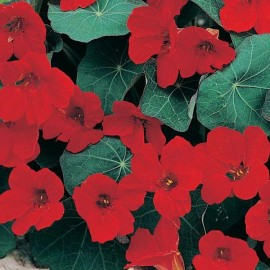 Tropaeolum nanum 'Empress of India' (Capucine naine)