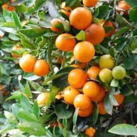 Citrus Mitis (Calamondin, oranger nain)