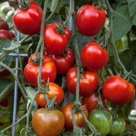 Tomate Stupické polní rané /stupice (tomate ancienne)