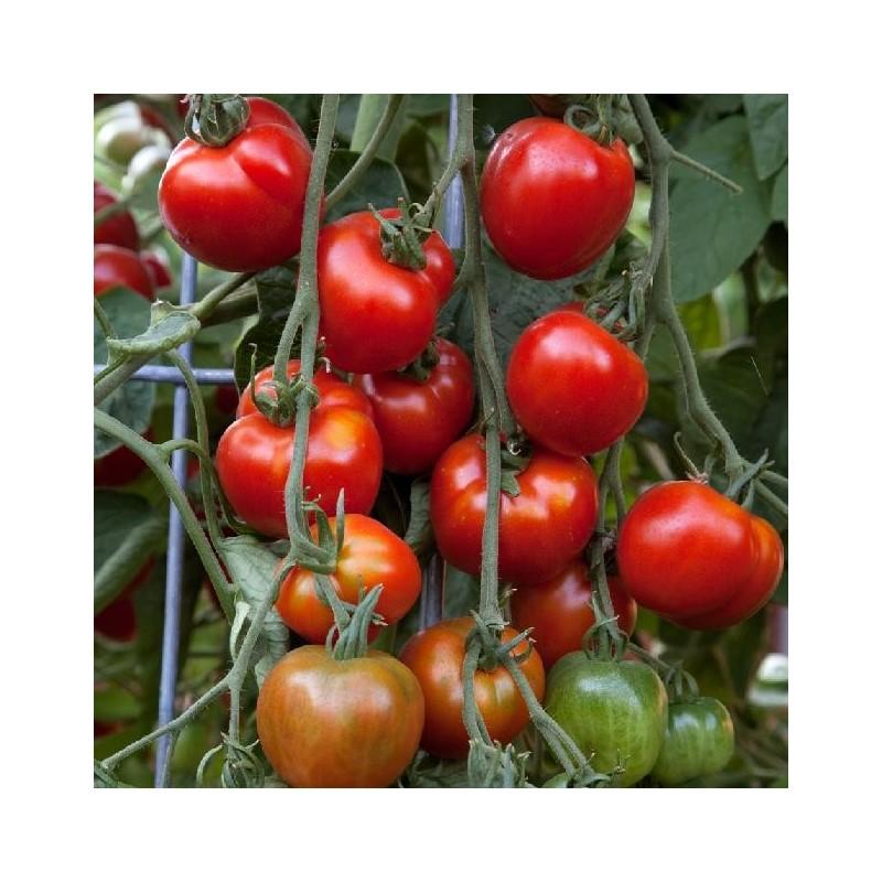 60 graines Légumes-tomate-Sub Arctic Plenty