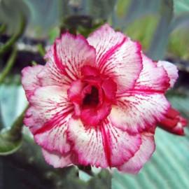 Adenium Obesum Laythai (Rose du désert)