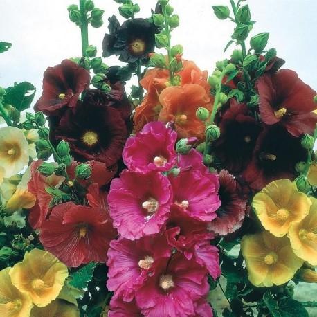 Graines Alcea rosea (Rose trémière)