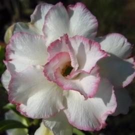 Graines Adenium Obesum Nangngam (Rose du désert)