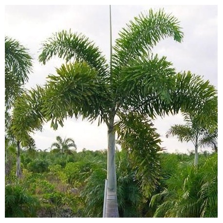 Graines wodyetia bifurcata palmier queue de renard - Palmier cocotier ...