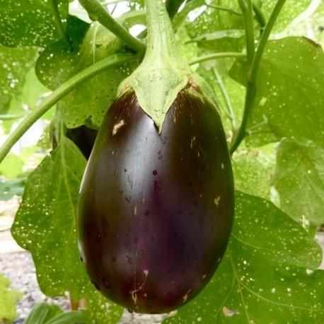 Graines aubergine 'Black Beauty'