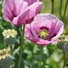 Graines Papaver somniferum 'Persian Blue' (Pavot à opium)