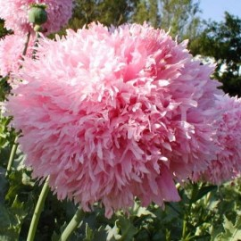 Papaver somniferum var. paeoniflorum 'Bombast Rose' (Pavot à opium)