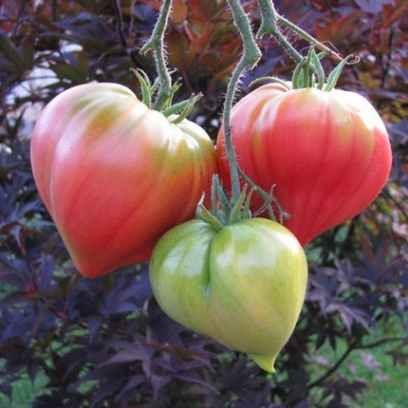 Graines Tomate ancienne 'Anna Russian'