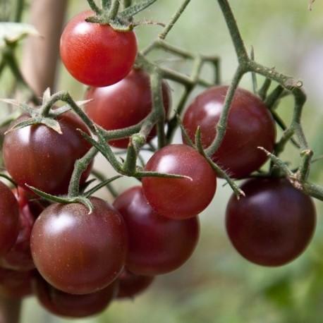 Graines Tomate cerise 'Chocolate Cherry'