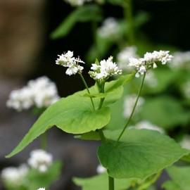 Sarrazin (engrais vert)