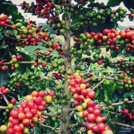 Coffea Arabica (Caféier d'Arabie)