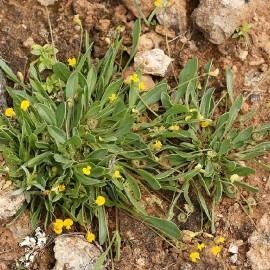 Graines Scorpiurus muricatus (Plante chenille)