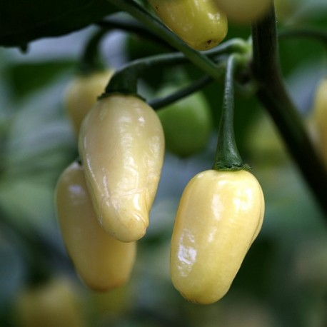 Graines Piment 'White Habanero' (piment fort)