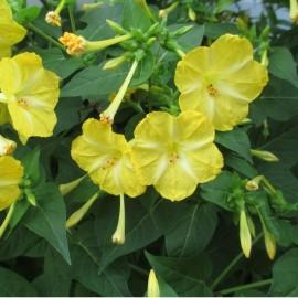 Belle de nuit à fleur jaune
