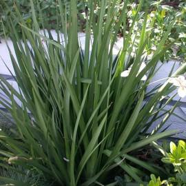 Dietes vegeta (Iris africain)