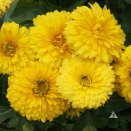 Calendula officinalis Bon Bon Yellow (Souci jaune)