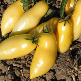 Graines Tomate ancienne blanche 'Cream sausage'