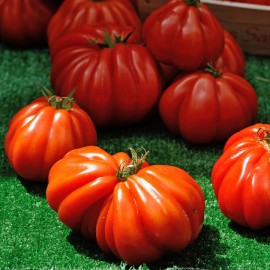 Tomate Beefsteak (tomate ancienne)