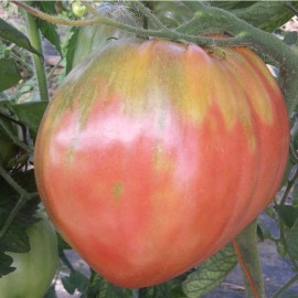 Tomate Hungarian heart (tomate ancienne)