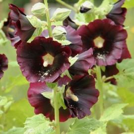Alcea rosea nigra (Rose trémière noire)