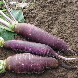 Graines Radis violet de Gournay (Radis d'hiver)