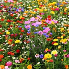 Jachère fleurie mi haute