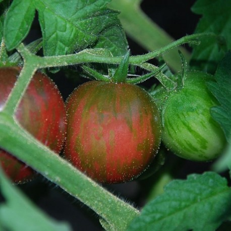 Graines Tomate cocktail 'Black Zebra Cherry'