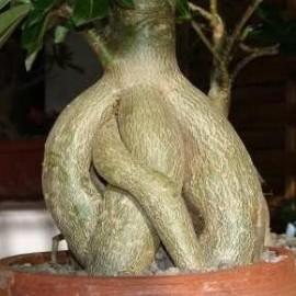 Graines Adenium Obesum 'Orangeade' (Rose du désert)