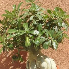 Graines Adenium Obesum 'Ladygaga' (Rose du désert)