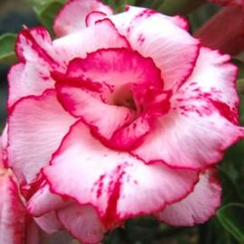 Adenium Obesum Ladygaga (Rose du désert)