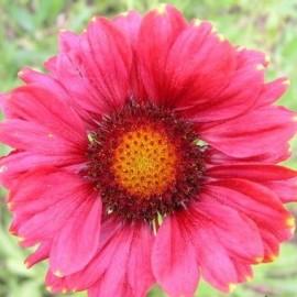 Gaillardia Arizona Red (Gaillarde)