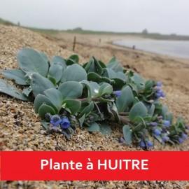 Graines Mertensia maritima, Huitre végétale, Plante huitre