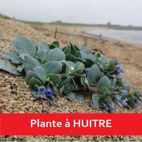 Graines Mertensia maritima (Huitre végétale, Plante huitre)