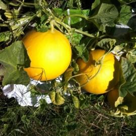 Graines Melon 'Boule d'Or'