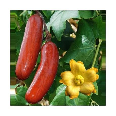 Sicana odorifera (Cassabanana)