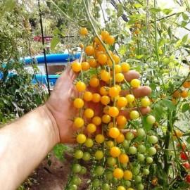 Tomate Petit moineau jaune (Tomate groseille)