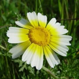 Chrysanthemum Coronarium (Chrysanthème comestible)