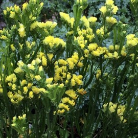 Limonium sinuata jaune (Statice jaune)