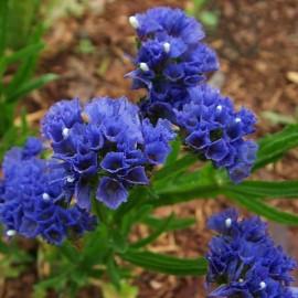 Limonium sinuata bleu (Statice bleu)
