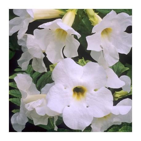 Incarvillea delavayi 'alba' (Incarvilée blanche)