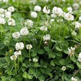 Trèfle blanc, Trifolium Repens (engrais vert)