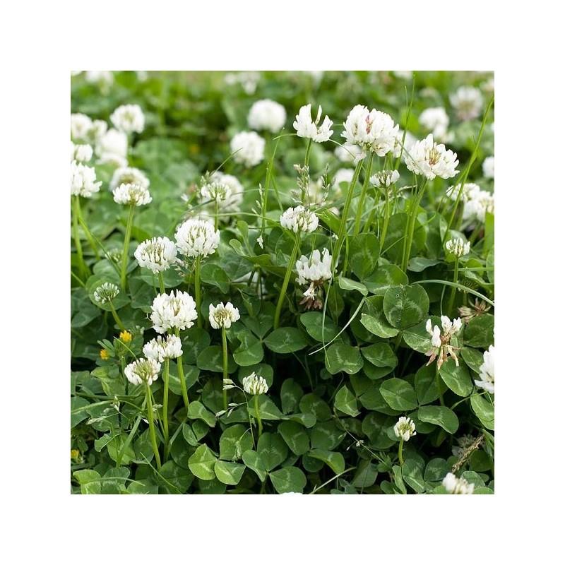 graine tr fle trifolium repens engrais vert. Black Bedroom Furniture Sets. Home Design Ideas