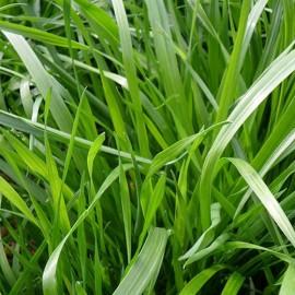 RAY~GRASS anglais (substitut de gazon)