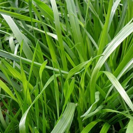 Ray Grass anglais (substitut de gazon)