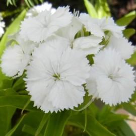 Dianthus barbatus White beauty (Oeillet des poètes blanc)