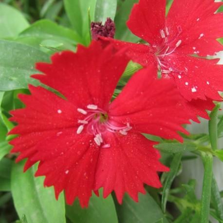 Dianthus barbatus Ideal Red (Oeillet des poètes rouge)